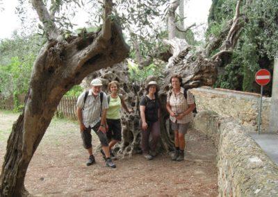 Bolgheri olivo millenario